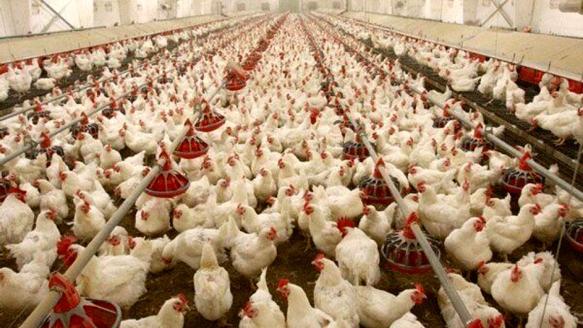 وزیر جهاد: مرغ به اندازه کافی وجود دارد