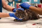 ابتلای اولین گربه انگلیسی به کرونا تایید شد