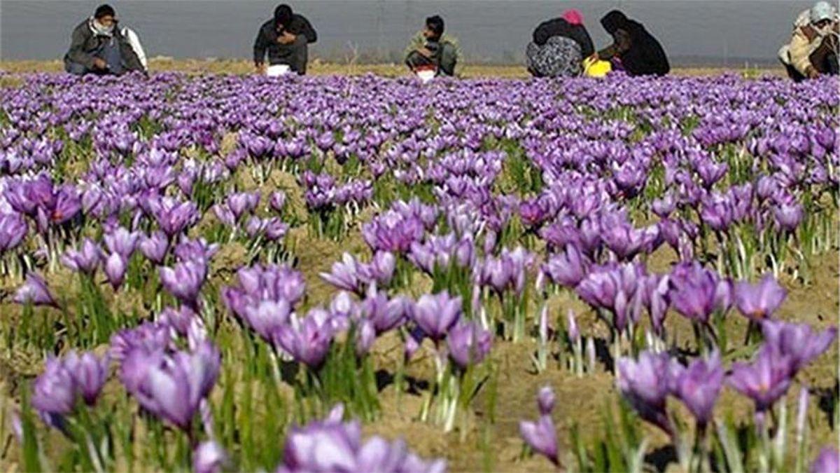 صادرات زعفران ۱۵ درصد کاهش یافت