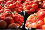 آغاز عرضه گسترده گوجه فرنگی در میادین میوه و تره بار تهران