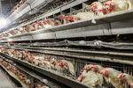 فروش خانه برای خرید خوراک مرغ