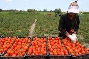 صادرات گوجه فرنگی مکمل گرانی شد
