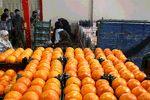 قیمت پرتقال ۳ برابر شد