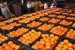 فیلم: فرق قیمت عجیب پرتقال در داخل باغ تا داخل شهر!