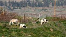 هراس صهیونیستها از گاوهای لبنانی!